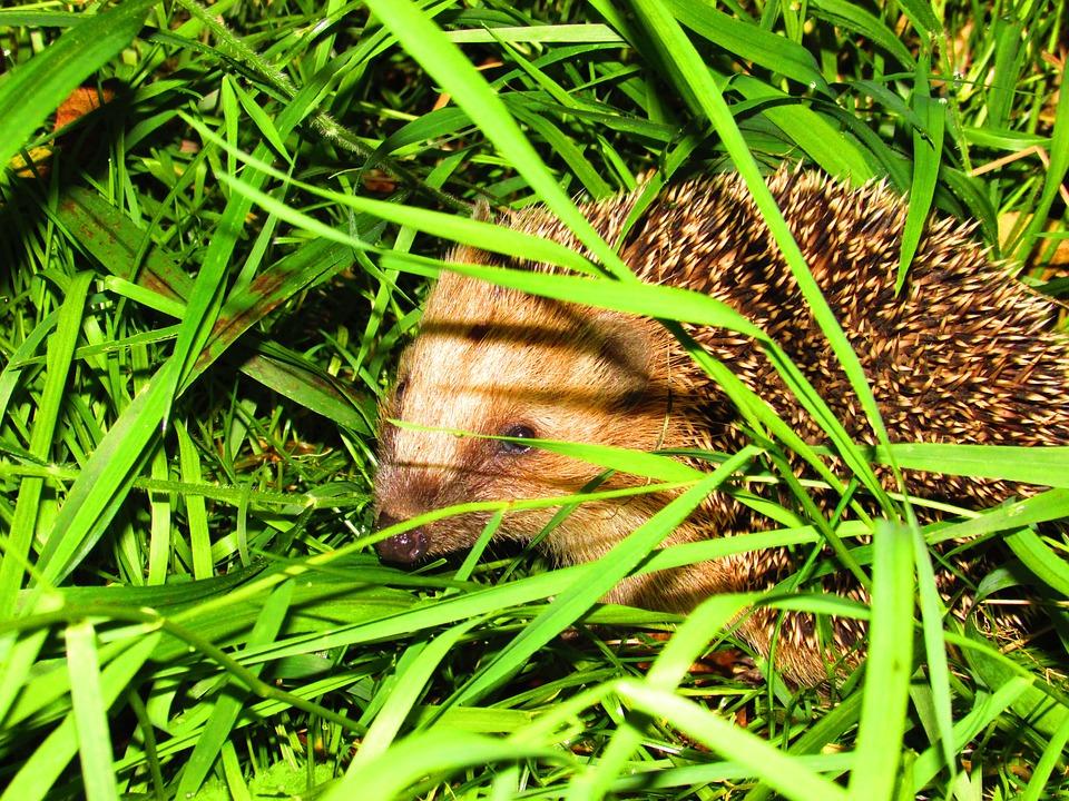 Hedgehog, Grass, Nature, Animals