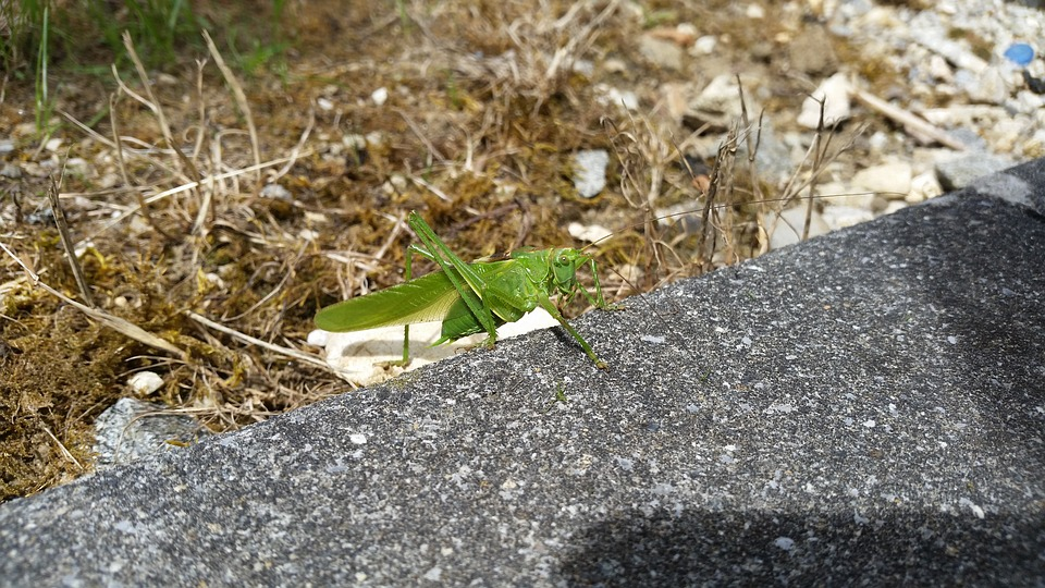 Garden, Animals, Grasshopper, Nature, Rush, Green