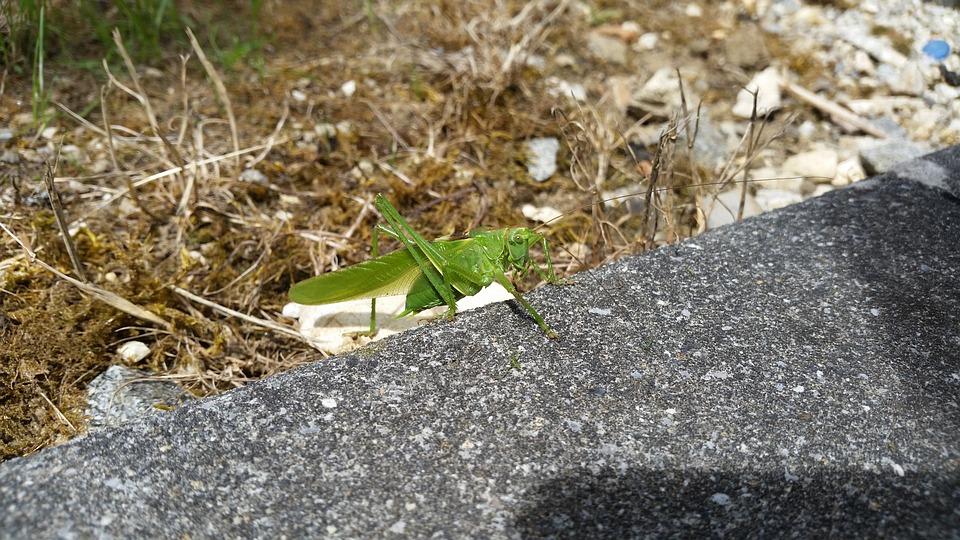 Garden, Animals, Grasshopper, Nature, Rush, Green