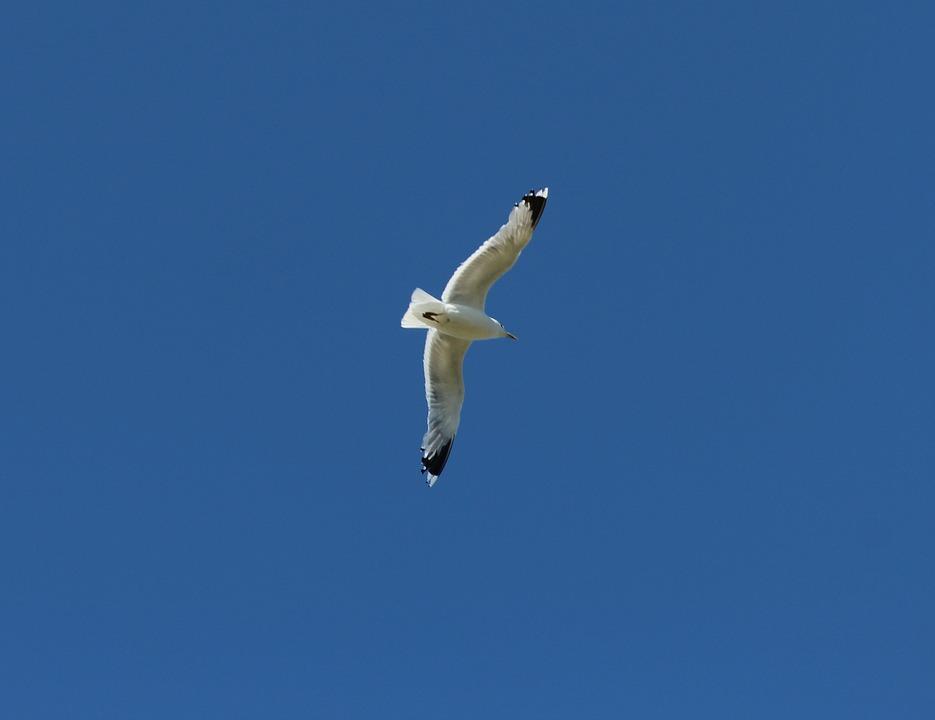 Gull, Gulls, Fly, Animals, Birds, Butterwort