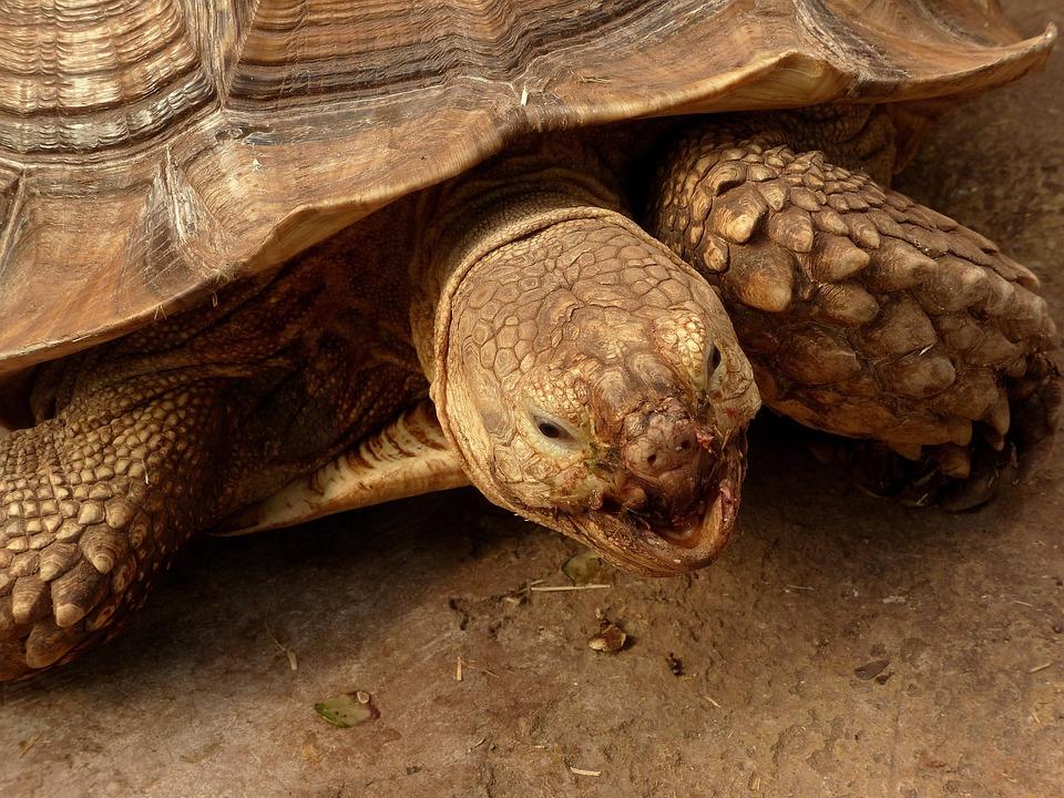 Tortoise, Animals In Captivity, Animal, Reptiles