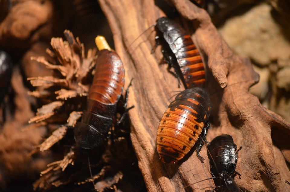 Cockroaches, Animals, Insect
