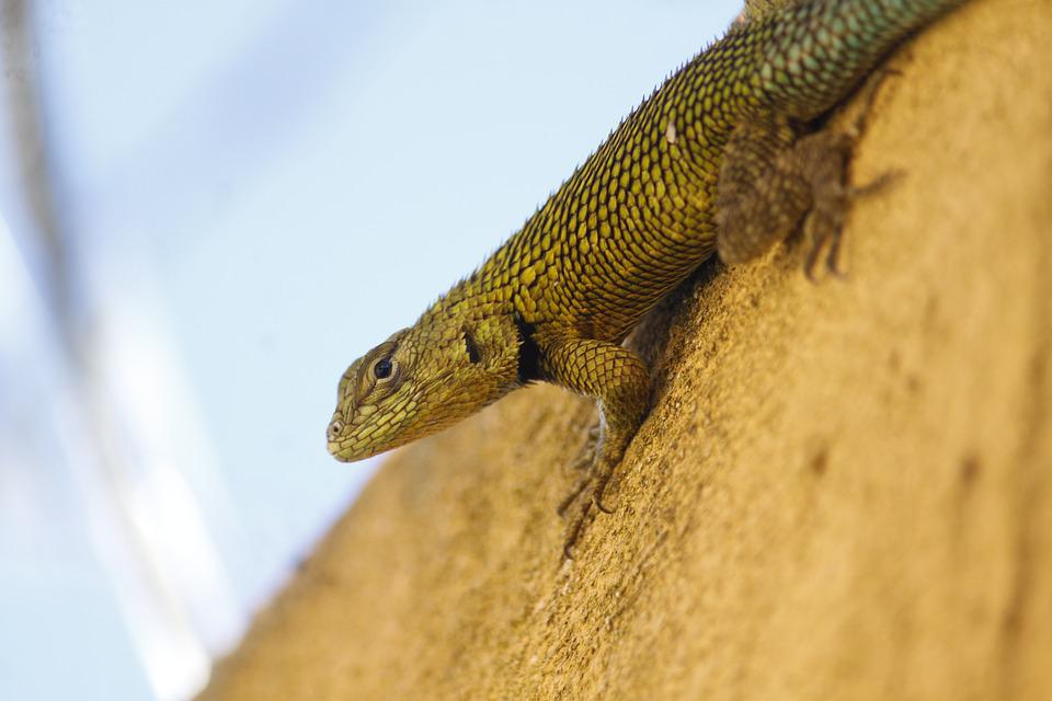 Lizard, Reptile, Animal, Nature, Animals, Insect