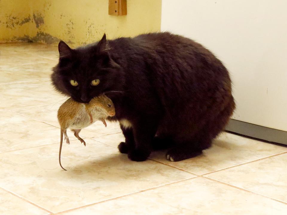 Cat, Animals, Mouse, Mouse Hunt, Kitten, Feline