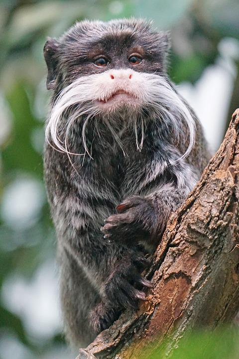 Animals, Primate, New World Monkey, Krallenaffe