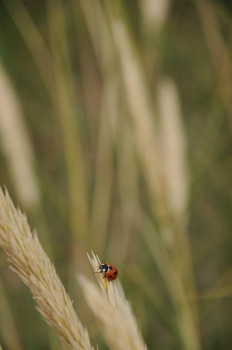 Ladybug, Straw, Animals, Red