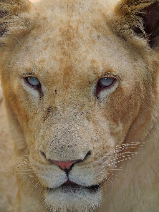 Lion, Lioness, Animals, Wild, Africa, Safari, Mane