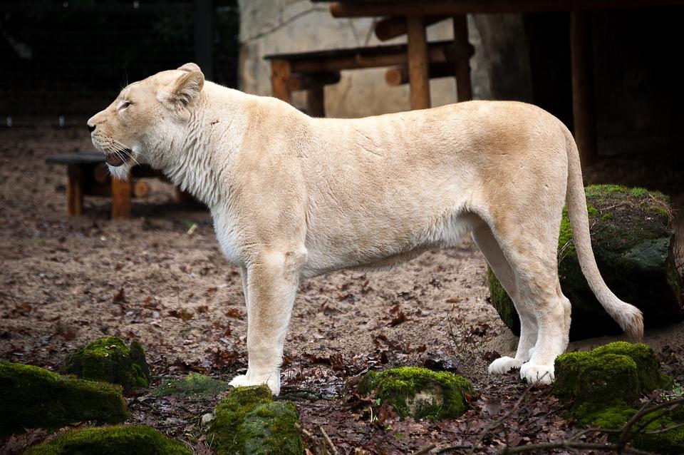 Lioness, Wildlife, Animals, Nature, Predator