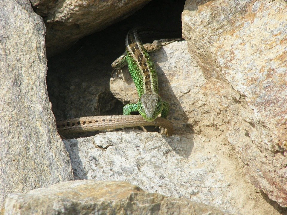 Lizard, Animals, Nature, Sand Lizard, Green, Reptile