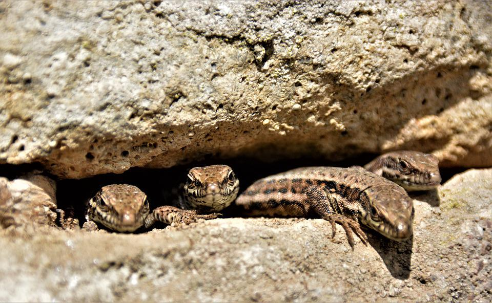 Lizards, Animals, Rock, Reptile, Wildlife, Hiding