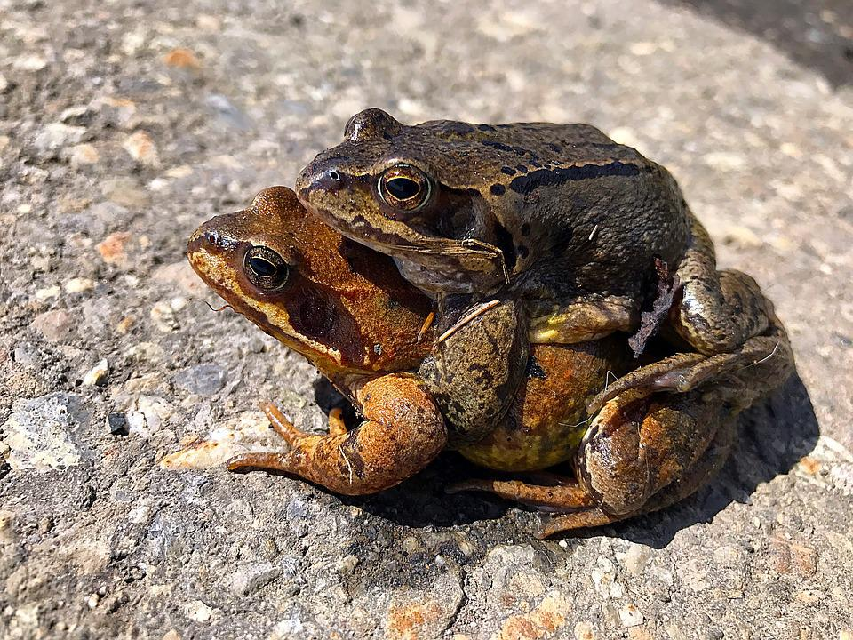 Animals, Frogs, Pair, Lovers, Nature