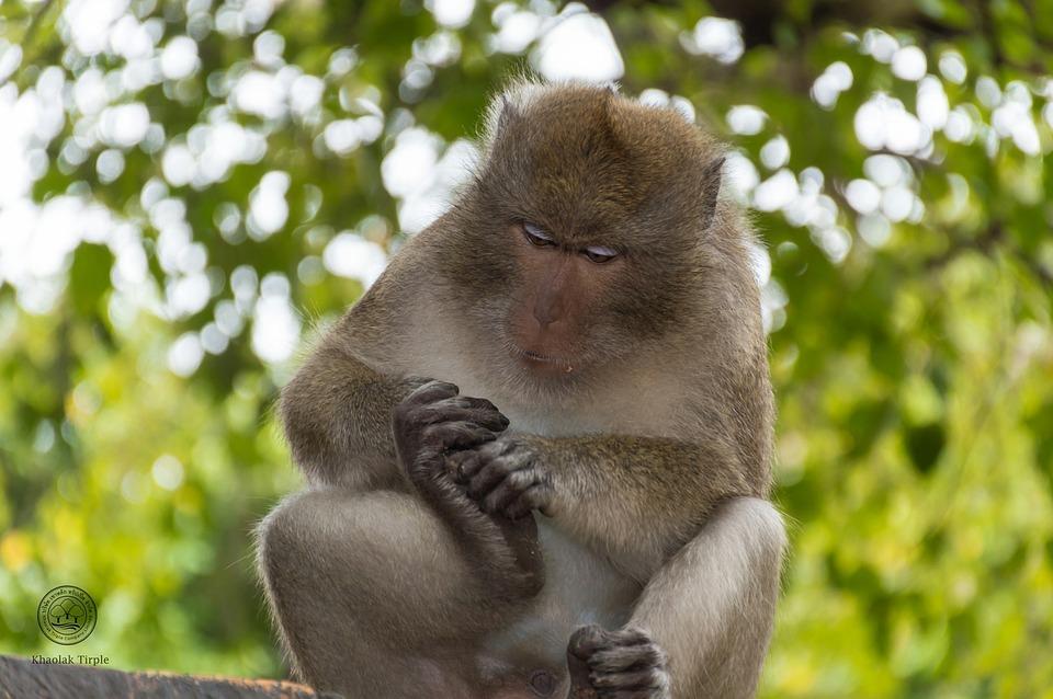 Monkey, Animals, Nature, Mammal, Thailand, Persistent