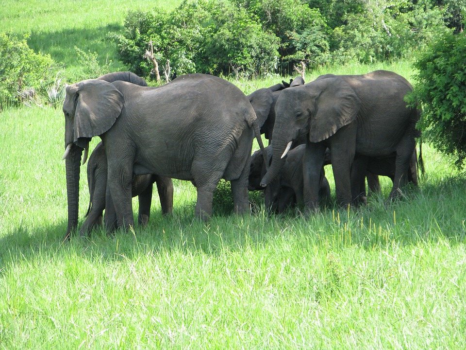 Elephants, Animals, Mammals, Wildlife, Safari, Africa