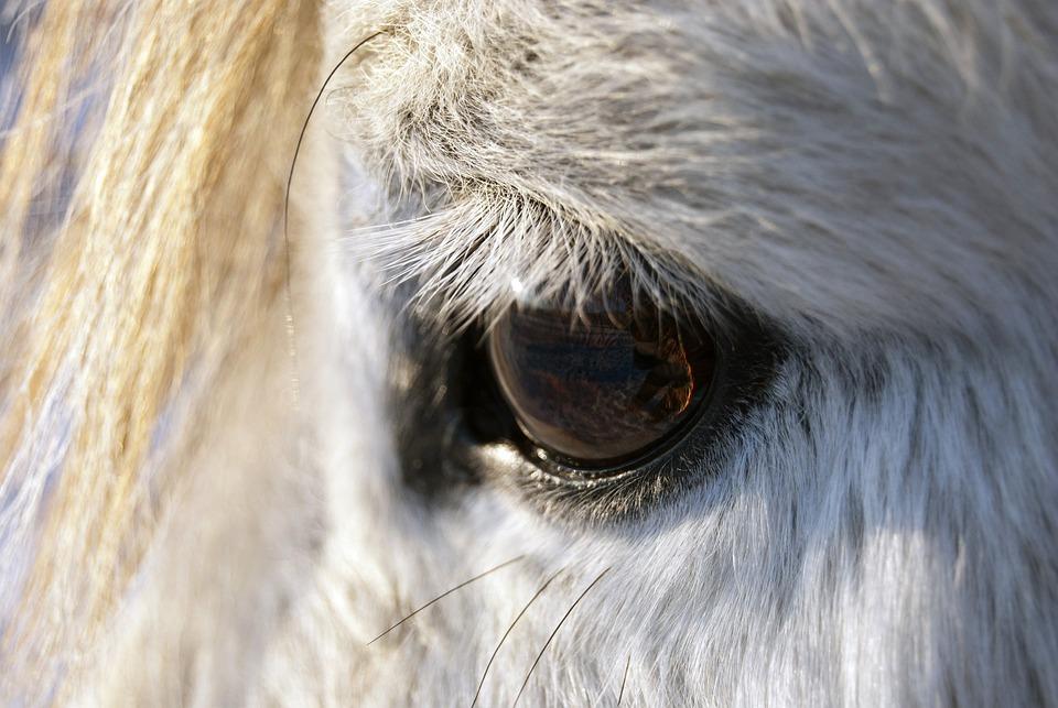 Horses, Eyes, Animals, Mammals, Face, Head, Organs