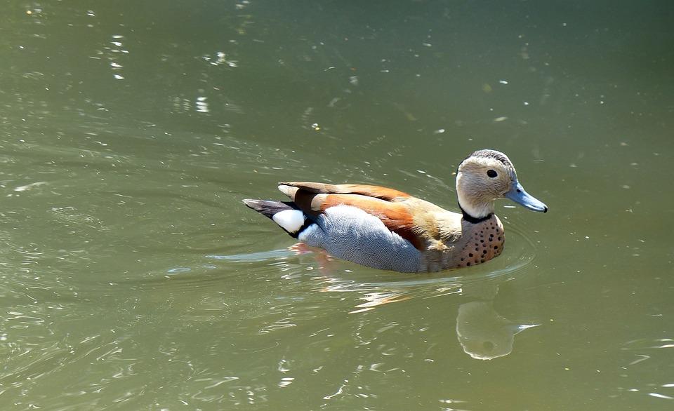 Duck, Water Bird, Duck Bird, Animals, Mandarin Ducks