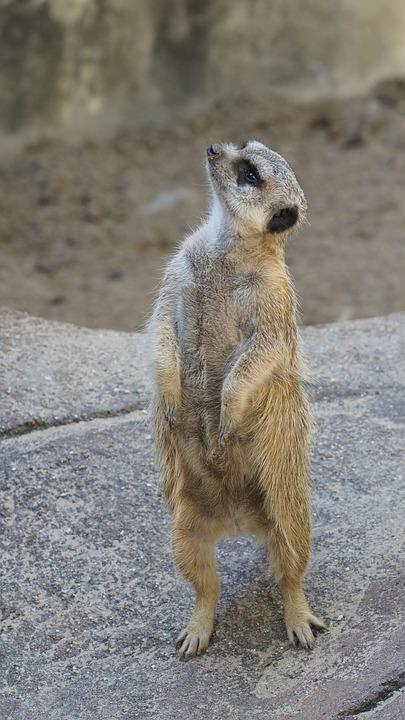 Meerkat, Zoo, Curious, Animals