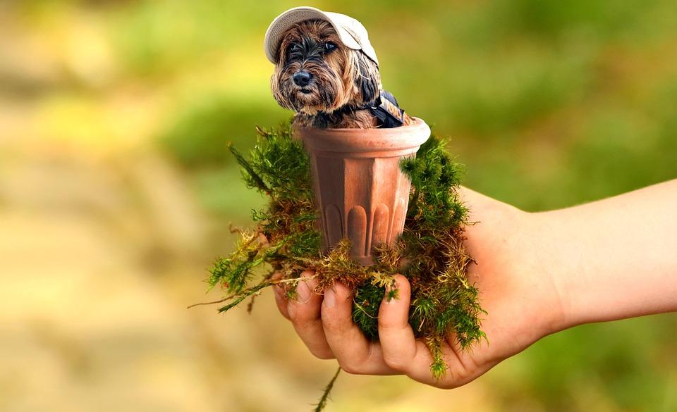 Animals, Dog, Miniature