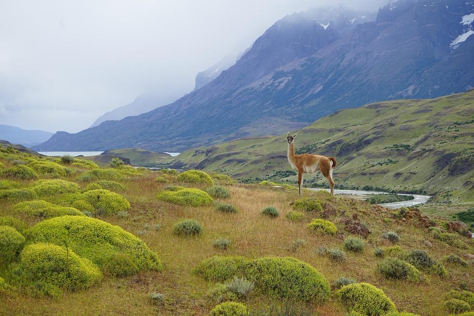 National Park, Animals, Chile, Torres Del Paine
