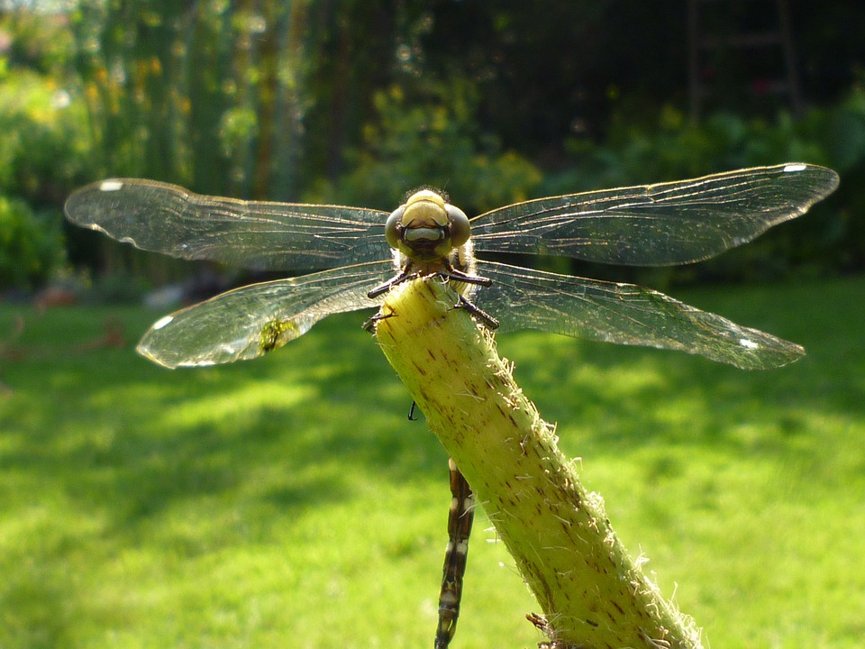 Dragonfly, Nature, Animals, Insect, Macro