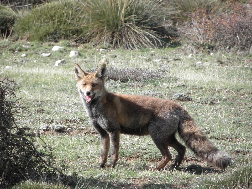 Nature, Animals, Fox