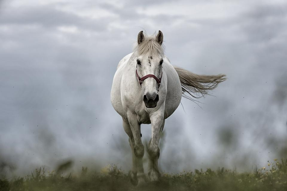 White Horse, Horse, Horses, Animals, Nature, Animal