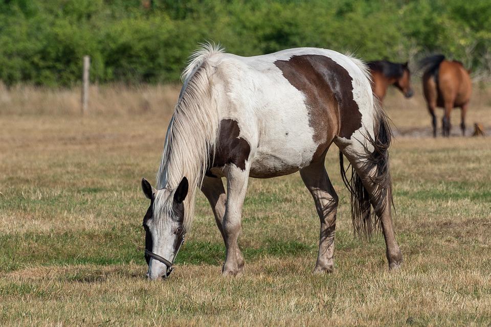 Horses, Grazing, Nature, Animals, Outdoors, Grass