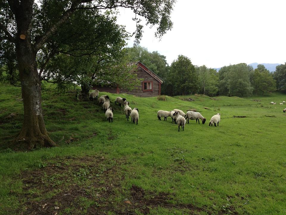 Sheep, Svanøy, Norway, Animals