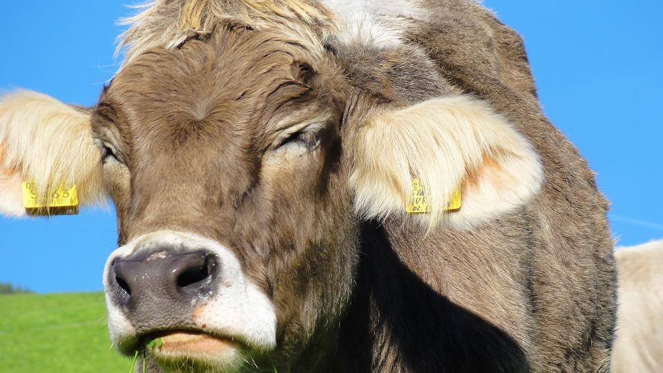 Cows, Animals, Kuhschnauze, Pasture