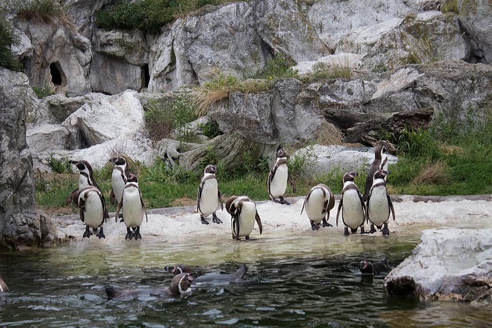 Penguins, Animals, Humboldt Penguin, Zoo, Bird