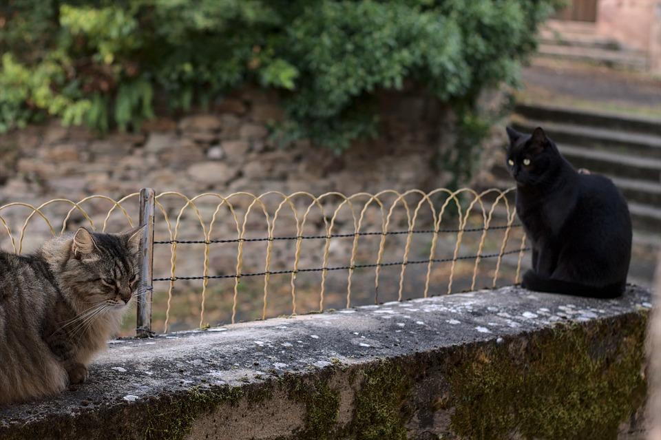 Cats, Pet, Feline, Animals, Fur, Kitty, Mammals
