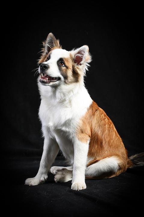 Dog, Portrait, Animals, Pet, Puppy, Cute, Fur, Young