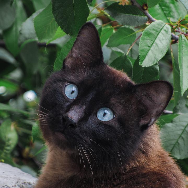 Cat, Siamese, Animals, Cute, Pet, Playful, Siam