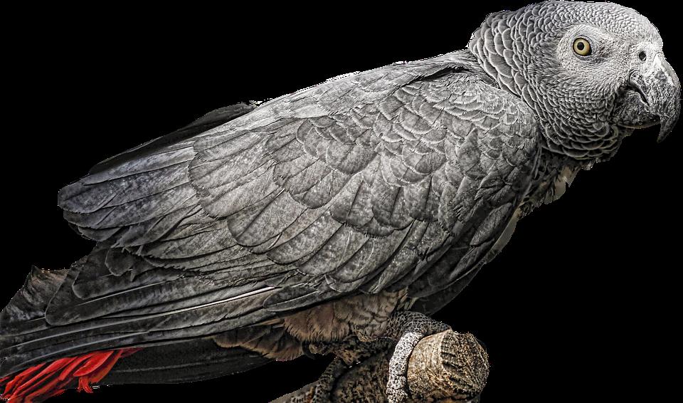 Gray Of Gabon, Parrot, Bird, Plumage, Animals, Exotic