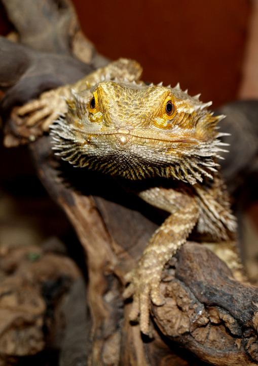 Bearded Dragon, Animals, Pogona Vitticeps