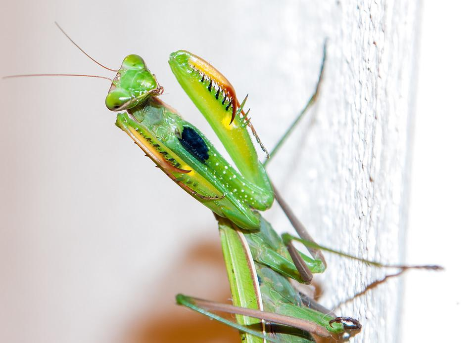 a description of the praying mantids a fascinating group of predatory insects A praying mantis is just as likely to eat a native bee that's pollinating your plants as it is to eat a caterpillar pest garden supply companies often sell the egg cases of chinese mantids, touting them as a biological control for your garden, but these predators may do as much harm as good in the end.