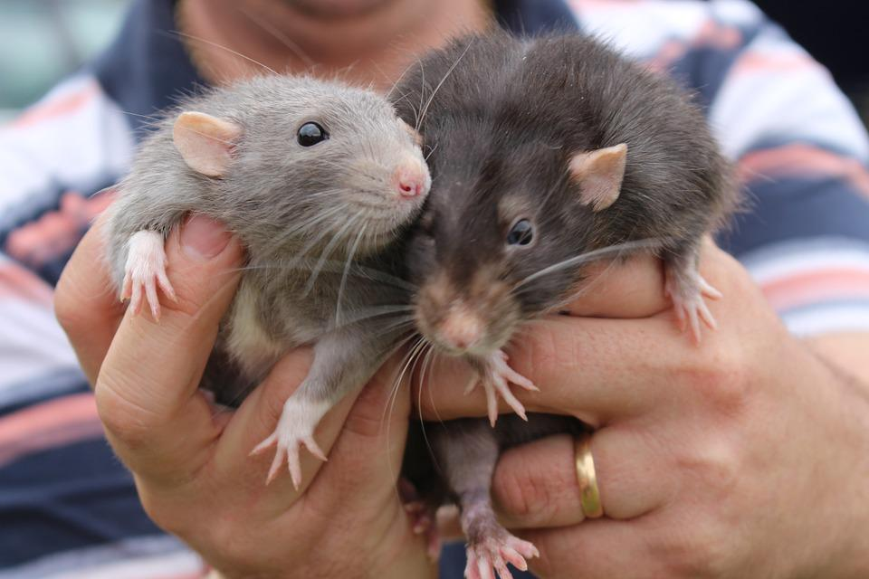 Animals, Rats, Cute, Pet, Fur, Nature, Rodent
