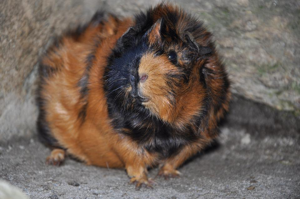 Guinea Pig, Animals, Rodent, Rosette, Brindle
