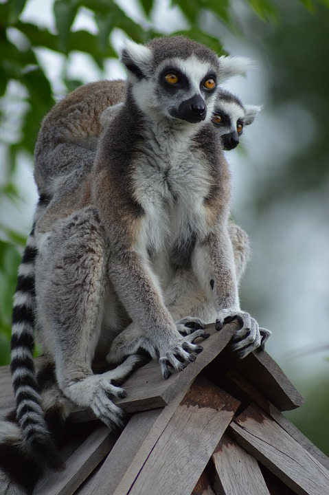 Lemur, Mom, Baby, Back, Climb, Roof, Fur, Eyes, Animals