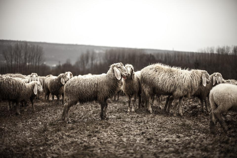 Sheep, Animals, Flock, Herd, Agriculture, Farm, Rural