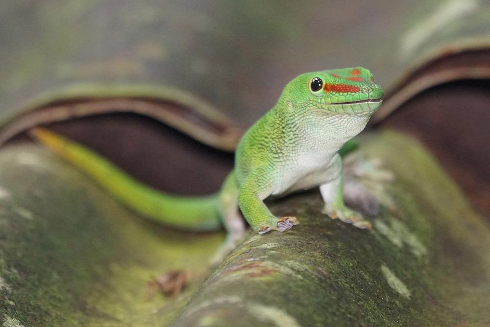 Gecko, Reptile, Lizard, Animals, Schuppenkriechtier