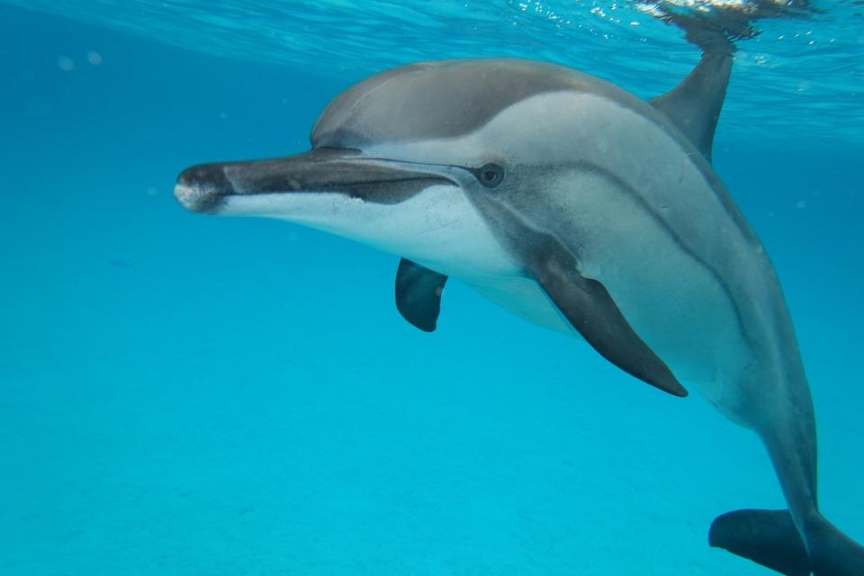 Sea, Animals, Dolphin