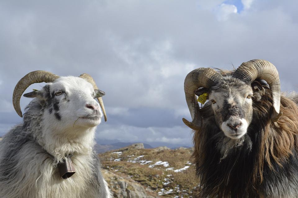 Animals, Sheep, Nature, Mammal, Pasture, Horns, Norway