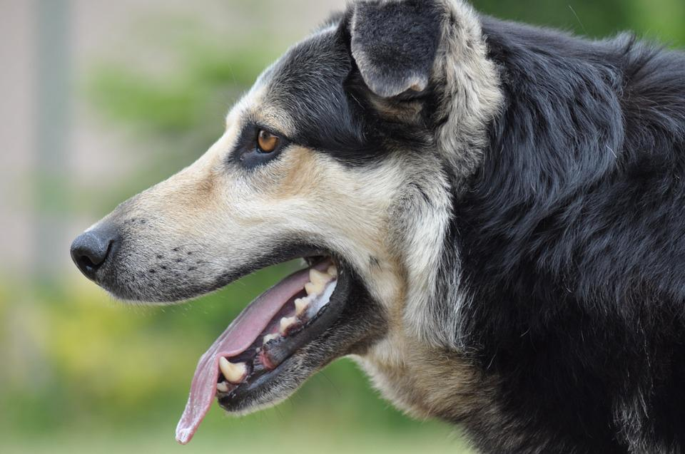 Snout, Dog, Animal, Animals, Doggy, Coat, Spacer, Pet