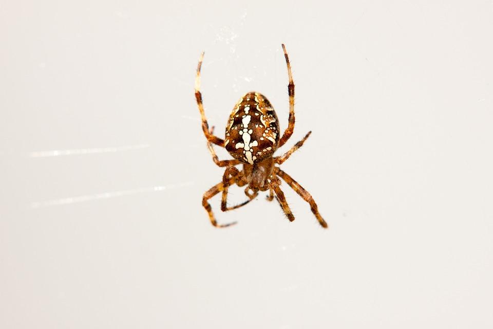 Spider, Araneus, Animals, Cobweb, Garden Spider, Legs