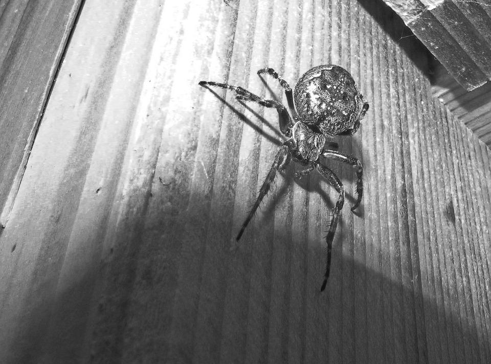 Spider, Animals, Wildlife