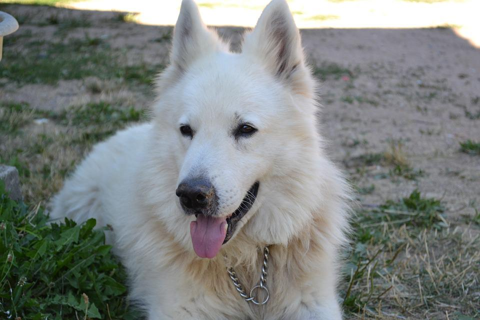Swiss White Shepherd, Dog, Pet, Animals