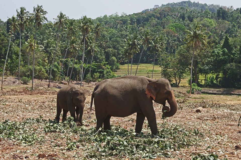 Elephants, Jungle, Sri Lanka, Animals, Family, The Food
