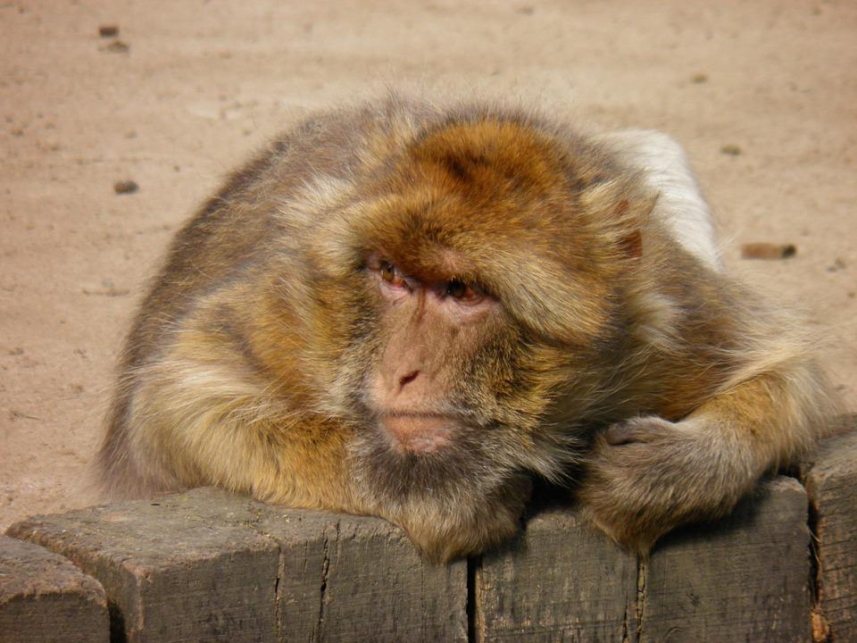 Monkey, Animals, The Prague Zoo