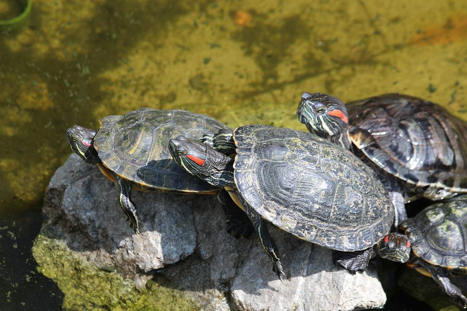 Turtle, The Red-eared Terrapins, Nature, Animals
