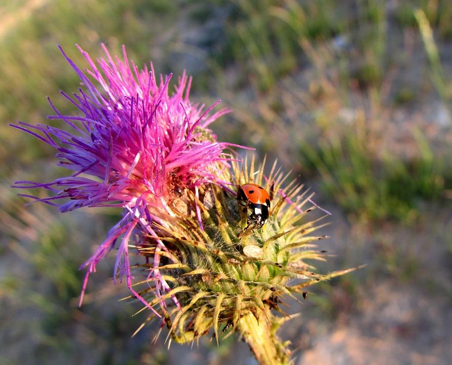 Ladybug, Insect, Animals, Nature, Thistle, Plant
